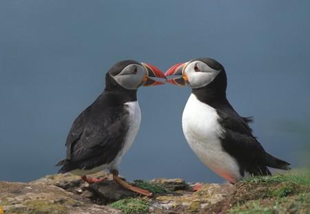 スコットランドの島の海岸線での 2 つのツノメドリ (Fratercula アークティカ) 写真素材