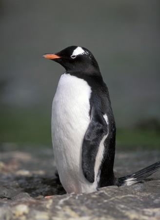 gentoo: Gentoo penguin in Antarctica in summer day