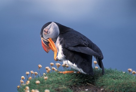 birdwatching: Puffin with spring flowers in coastline of Scotland island Stock Photo
