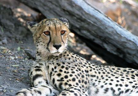 Cheetah on the ground in Okovango Delta Botswana Stock Photo - 4674550