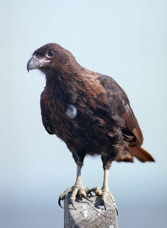 South american eagle caracara on Falkland islands photo