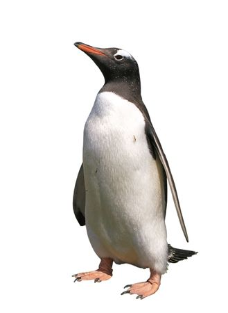 pinguins: Pingouin Gentoo with clipping path isol� sur blanc Banque d'images