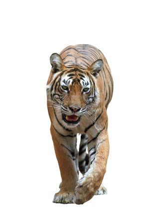 Isolated bengal tiger  版權商用圖片