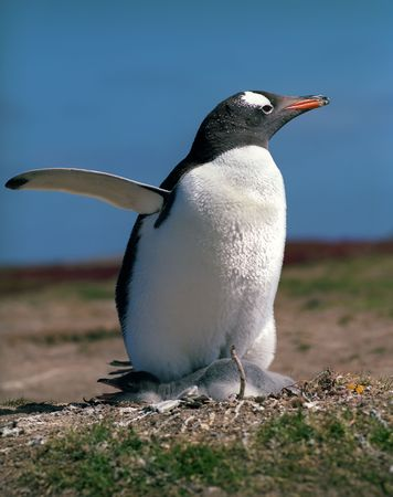 Gentoo penguin with chick on Falkland islands photo