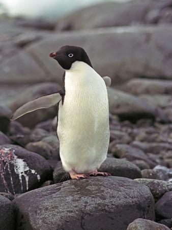 antarctic peninsula: Adalie penguin on stone, Antarctic peninsula Stock Photo