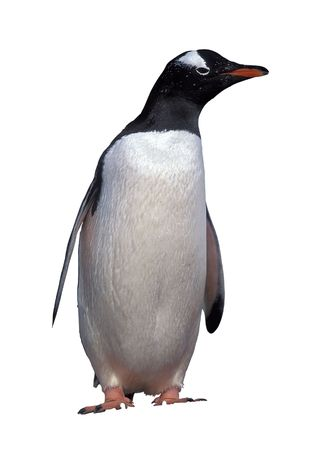 penguin: Emperor penguin isolated on white with clipping path