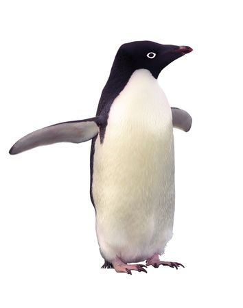 Penguin Adelia isolated over white with clipping path