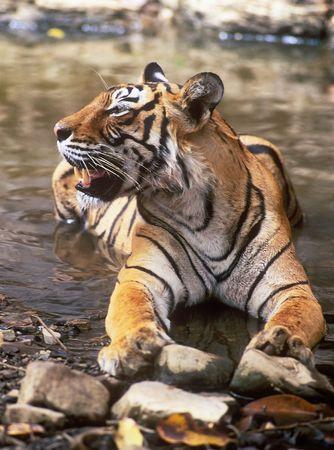 panthera tigris: Tigre de Bengala (Panthera tigris)
