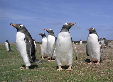 Close-up view to colony gentoo penguins in Falkland islands photo
