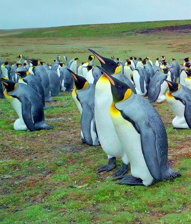 Colony of emperor penguins on Falkland islands photo
