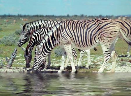 waterhole: Zebras on waterhole in hot day Stock Photo