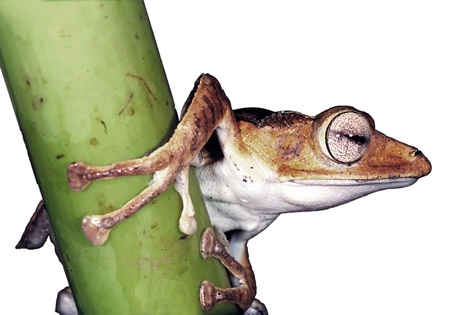 tree frog: Tropical frog on the stem isolated over white Stock Photo