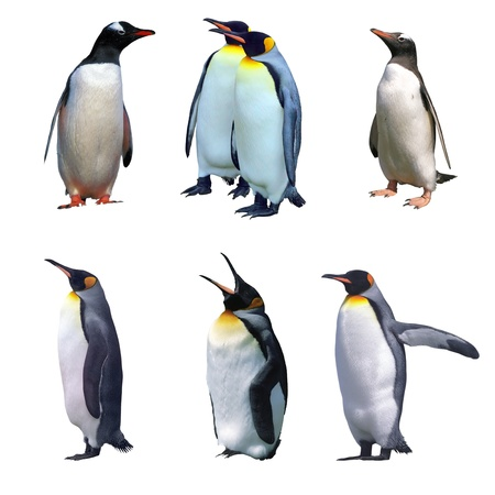 Gentoo and emperor penguin isolated on white and some with clipping paths photo