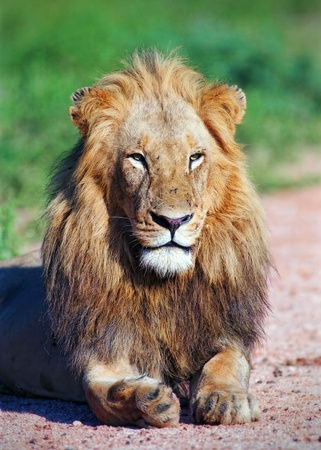 head rest: Portrait young lion in Kruger park of South Africa Stock Photo