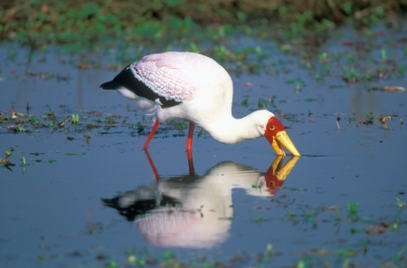 Yellow-billed stork hunting in water Okavango Delta Botswana