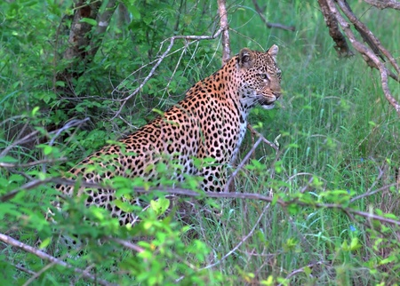 privat: Leopard hunting in Londolozi privat reserve South Africa