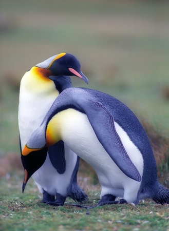 penguin colony: Two emperor pinguins in summer day on Falkland islands