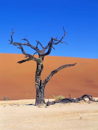 ナミブ砂漠、ナミビア、Sossuslvei の木が死んだ
