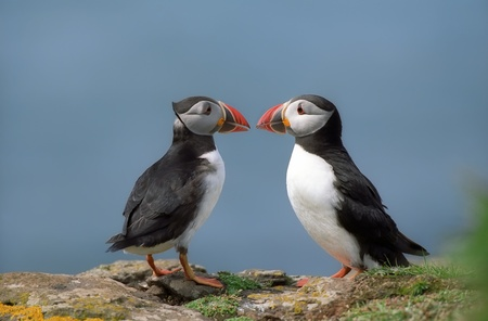 Two funny puffins on coastline Scotland  Stock Photo