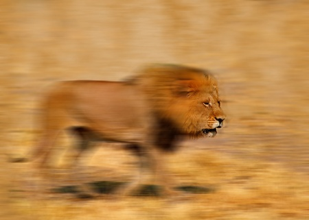 Motion blur of lion in savannah photo