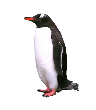 penguins: Gentoo penguin isolated over white