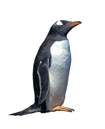 白で分離したジェンツー ペンギン