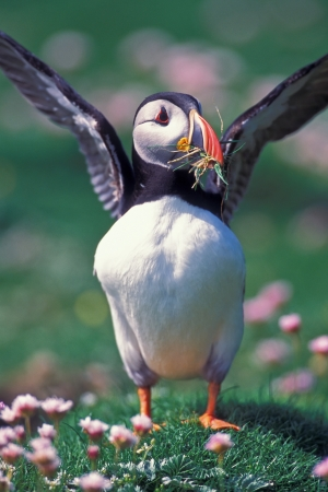 Puffin going to flight