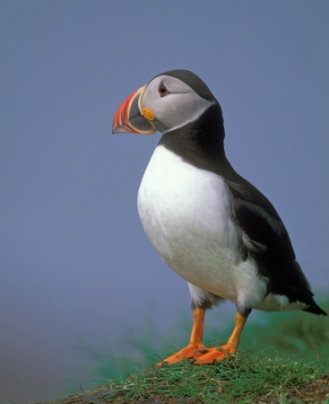 Puffin in coastline of Scotland island Stock Photo