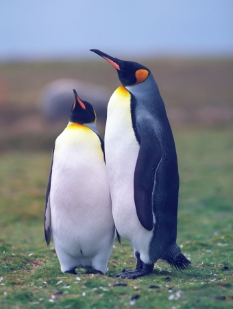 penguin colony: Two king penguins in the grass area in summer day Falkland islands Stock Photo