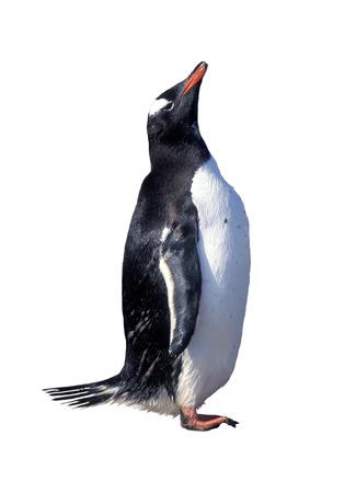 gentoo: Gentoo penguin isolated over white
