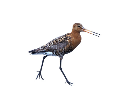 The Black-tailed Godwit  Limosa limosa  is a large, long-legged, long-billed shorebird first described by Carolus Linnaeus in 1758
