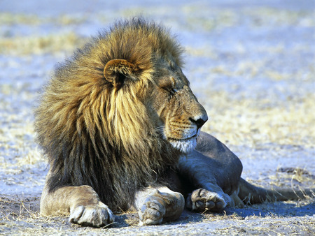 kruger park: Young lion in Kruger park of South Africa