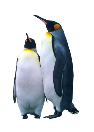 penguin colony: Two king penguins isolated over white