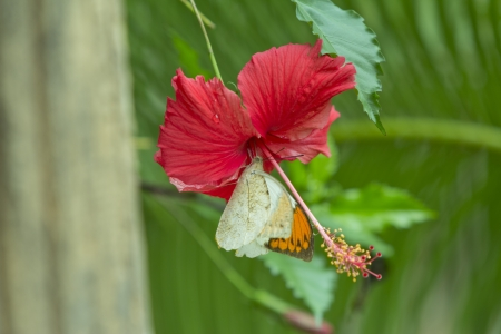 rosemallow: Butterfly