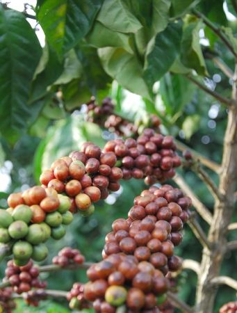 coffee tree: coffee tree  Stock Photo