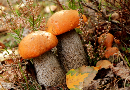 needless: Edible orange mushrooms on the forest ground in the autumn forest