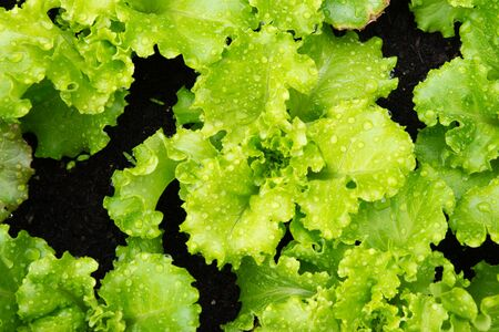 Blonde curly leaf lettuce Stock Photo