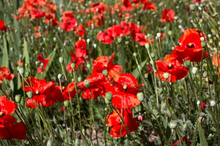 Red flowers on green stalks Stock Photo
