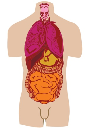 Vector a stomach of a gut a liver of the person  Stock Photo - 9020005
