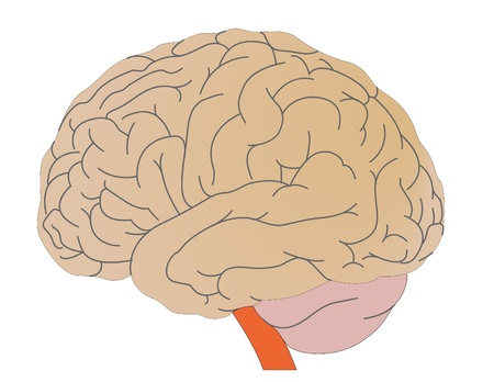 Vector a brain of the person Stock Photo - 9020010