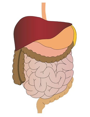 Vector a stomach of a gut a liver of the person Stock Photo - 9019992