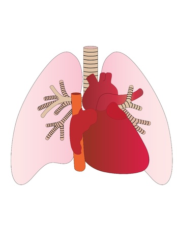 Vector lungs and heart of the person