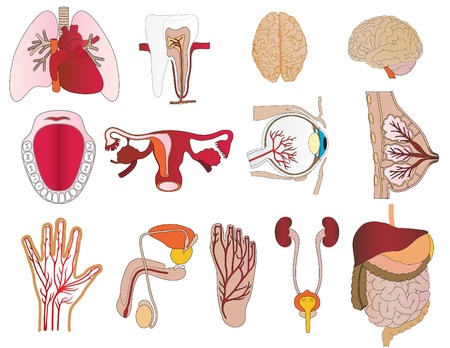 Vector a set of bodies a liver lungs tooth a jaw heart a stomach
