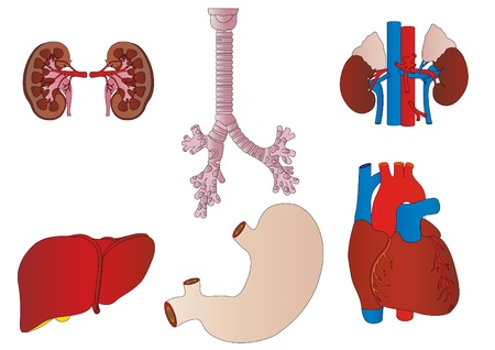 Vector a set of an internal of the person of a kidney, a liver, a trachea, a stomach, heart Stock Photo