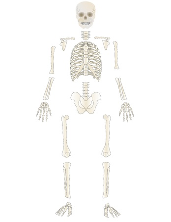 Vector the Skeleton of the person photo