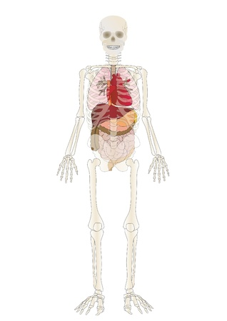 Vector the Skeleton of the person with an internal Stock Photo - 9020021