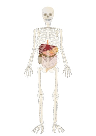 Vector the Skeleton of the person with an internal Stock Photo - 9020013