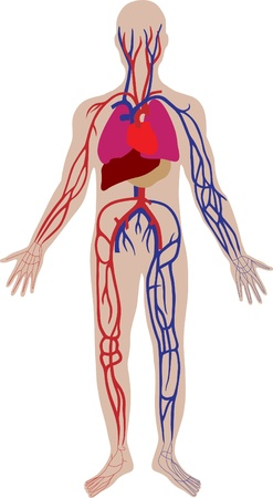 Vector blood system of the person Vector