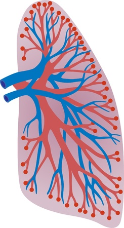 intestin: poumons de la personne. Illustration