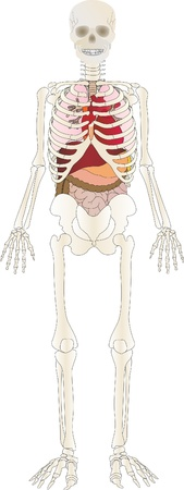 Vector the Skeleton of the person with an internal  Illustration